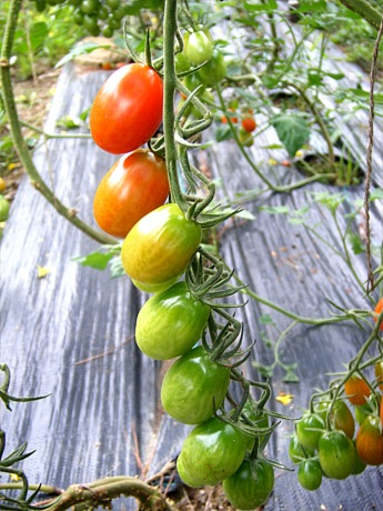 grapetomatoesblog4